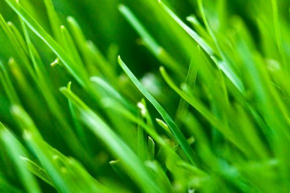 Aim Barley Grass