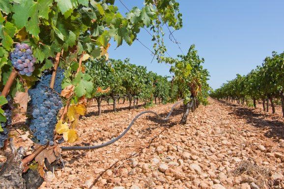 Vineyard in Mallorca